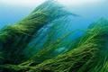 Tengeri algák, moszatok, tőzeg